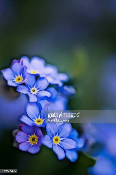 Blue Forget Me Not Flowers