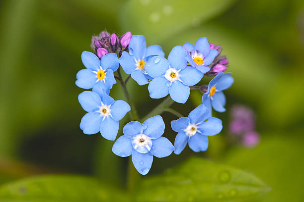 free forget me not flower images pictures and royalty free stock photos
