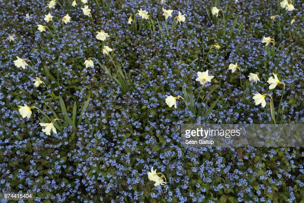 Blue forgetmenots and other flowers stand on show at the IGA 2017 international garden exhibition on April 28 2017 in Berlin Germany The IGA includes...