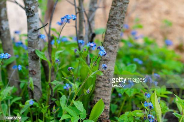 blue forget-me-nots at the time of flowering - forget me not stock pictures, royalty-free photos & images