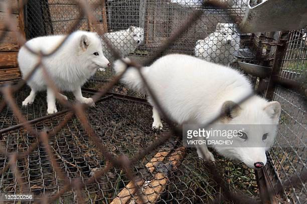 Blue foxes are pictured in a cage at a pelt farm near the village of Babino some 180 kms outside Minsk on November 11 2011 The farm produces some...