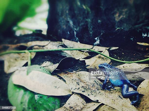 Blue Frog On Field In Forest