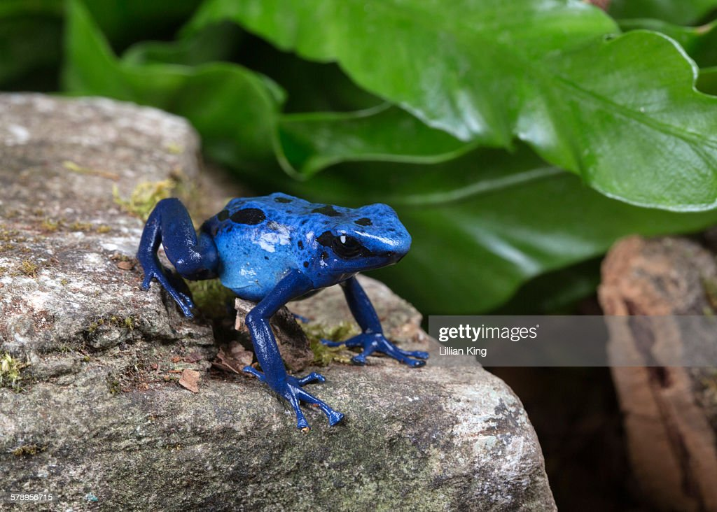 Blue frog on the move : Stock Photo