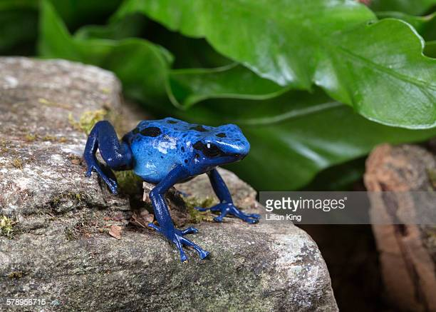 Blue frog on the move
