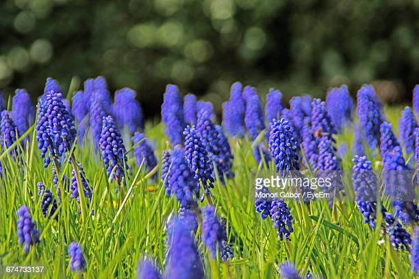 blue grape hyacinth flowers blooming in field - grape hyacinth stock pictures, royalty-free photos & images