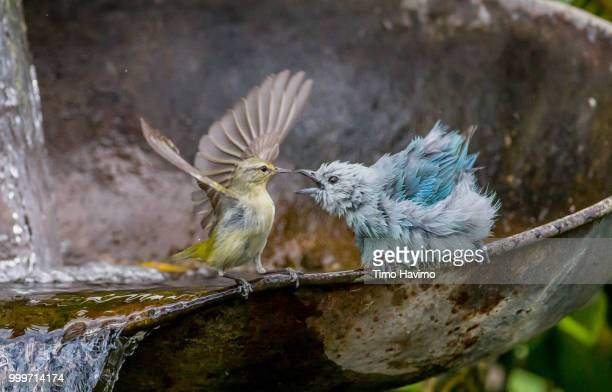 Blue gray Tanager and Tennesse Warbler; San Jose Costa Rica; copyright Timo Havimo