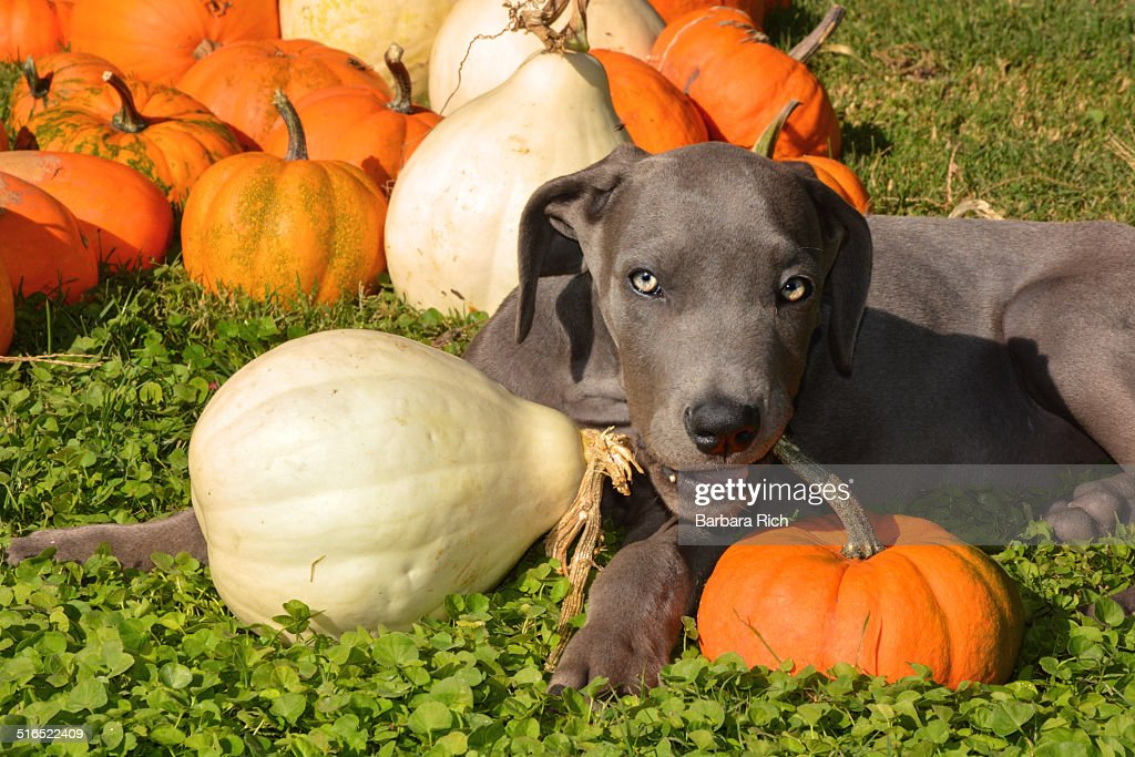 blue great dane puppy and pumpkins ストックフォト getty images