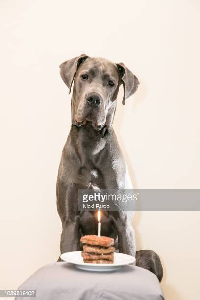 blue great dane sitting in front of pile of hamburgers with one lit candle. dog first birthday - first birthday imagens e fotografias de stock