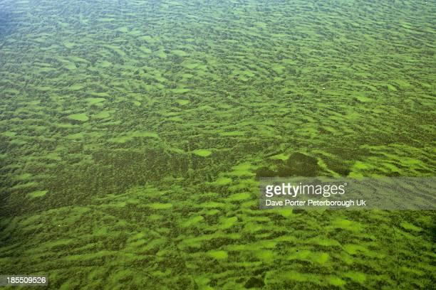 blue green algae in the mere diss, norfolk - green algae ストックフォトと画像