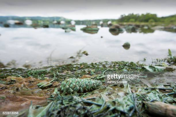 blue green algae on the shores of lake windermere in ambleside, lake district, uk - red tide stock pictures, royalty-free photos & images