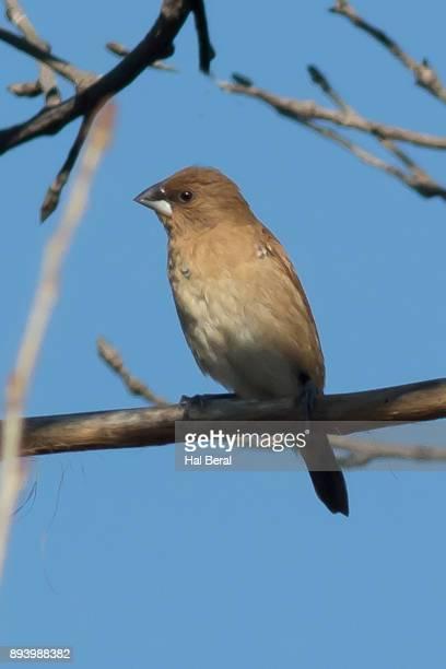 blue grosbeak female - blue cardinal bird stock pictures, royalty-free photos & images