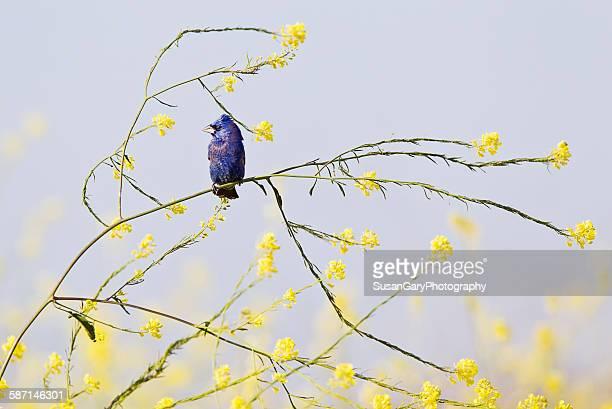 blue grosbeak in wild mustard - blue cardinal bird stock pictures, royalty-free photos & images
