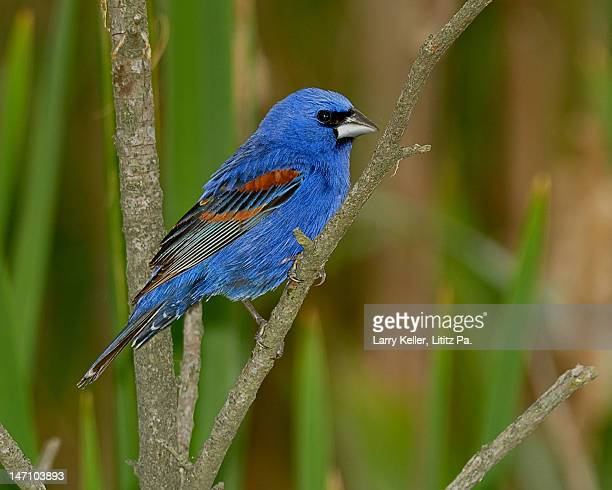 blue grosbeak male - blue cardinal bird stock pictures, royalty-free photos & images