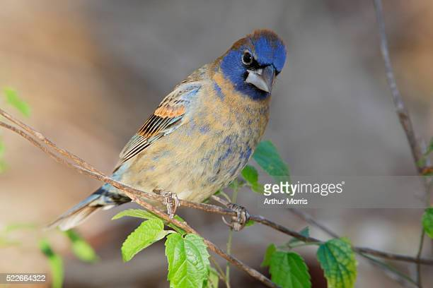 blue grosbeak male sitting on a branch - blue cardinal bird stock pictures, royalty-free photos & images