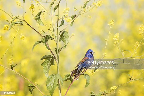 blue grosbeak perched - blue cardinal bird stock pictures, royalty-free photos & images
