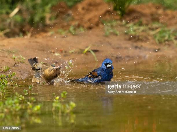 blue grosbeak - blue cardinal bird stock pictures, royalty-free photos & images