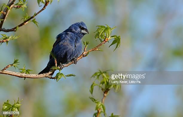 blue grosbeak - blue cardinal bird stock photos and pictures