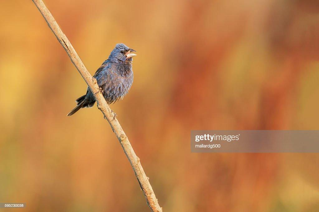 Blue Grosbeak : Stock Photo