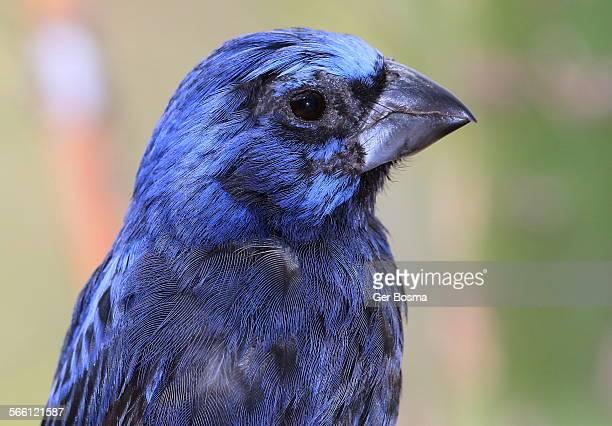 blue grosbeak portrait - blue cardinal bird stock pictures, royalty-free photos & images