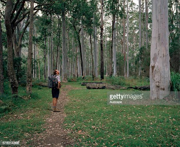 Blue Gum Forest with Mountain blue gums, Eucalyptus deanii, Grose Valley, Grose Valley, Blue Mountains National Park, New South Wales, Australia.