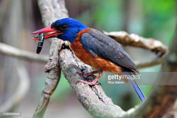 blue headed kingfisher (actenoides monachus) - central sulawesi stock pictures, royalty-free photos & images