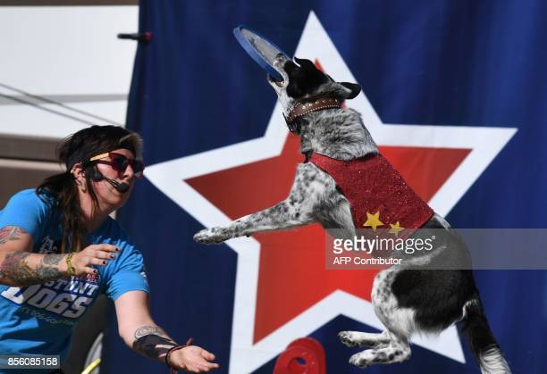 A Blue Heeler cross rescue dog catches a frisbee during the All Star Stunt Dogs show at the annual Kern County Fair in Bakersfield California on...