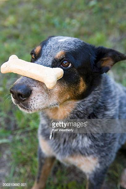 Blue heeler dog balancing chew bone on nose