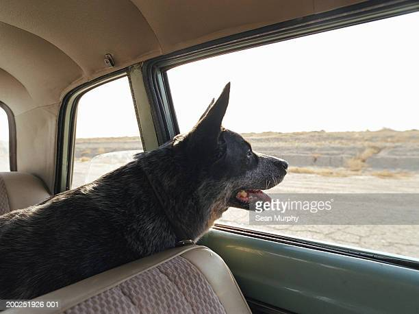 blue heeler dog looking out of car window - australian cattle dog stock pictures, royalty-free photos & images