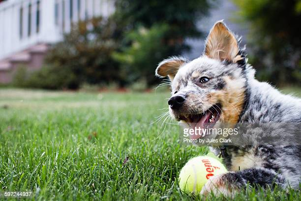 blue heeler with ball - australian cattle dog stock pictures, royalty-free photos & images