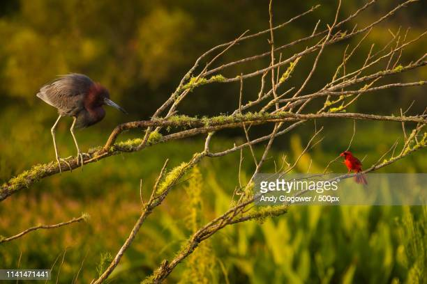 blue heron and cardinal perching on branches - blue cardinal bird stock pictures, royalty-free photos & images