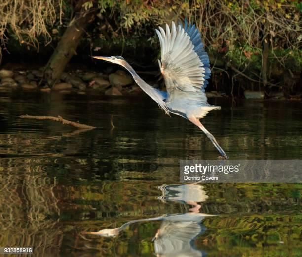Blue Heron Departure