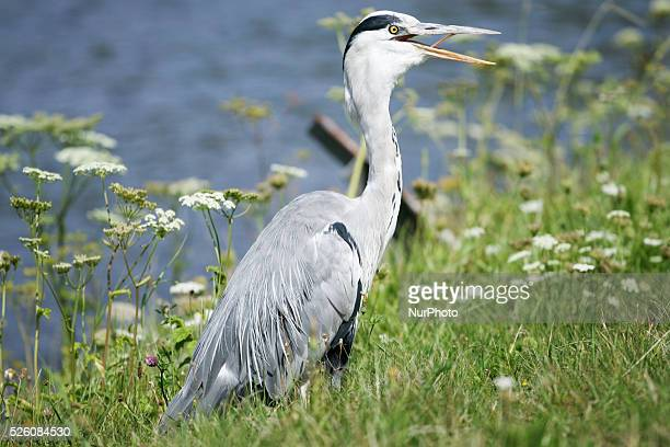 Blue heron is seen breathing excessively trying to comfort himself from the heavy moist air. People are seen enjoying the increasingly warm weather...