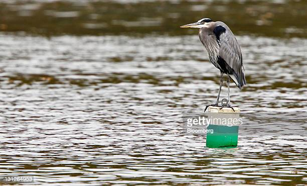 A blue heron sits on a buoy near the Tennessee Valley Authority Power Plant in Kingston Tennessee US on Thursday Oct 27 2011 In December 2008 the...