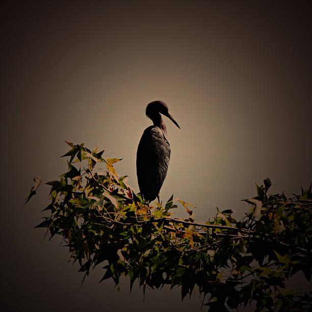 Blue heron standing alone