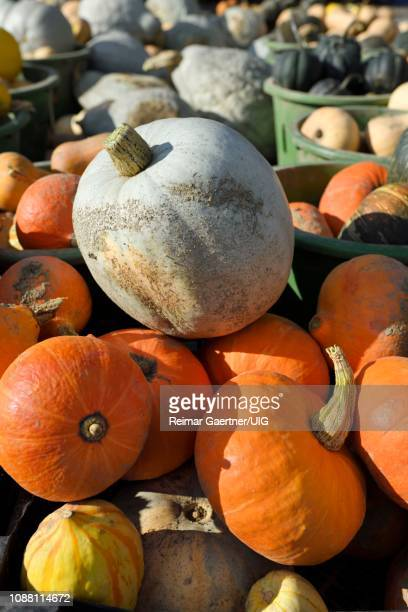 Blue Hokkaido and other pumpkins and winter squash in an outdoor market Prince Edward County Ontario in the Fall