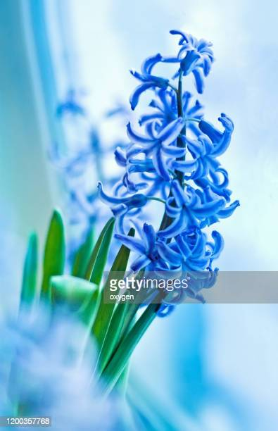 blue hyacinth spring flowers on light background near window - hyacinth stock pictures, royalty-free photos & images