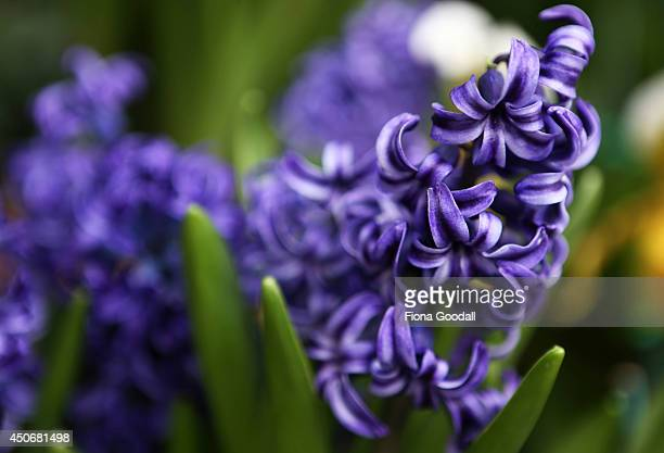 Blue Hyacinths at the Auckland Domain Wintergardens on June 16 2014 in Auckland New Zealand The Winter Garden at the Auckland Domain was designed in...