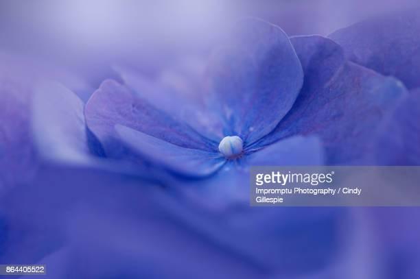 Blue Hydrangea bathing in sunlight