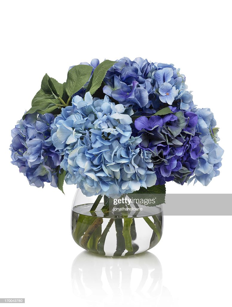 Hydrangea Stock Photos and Pictures | Getty Images