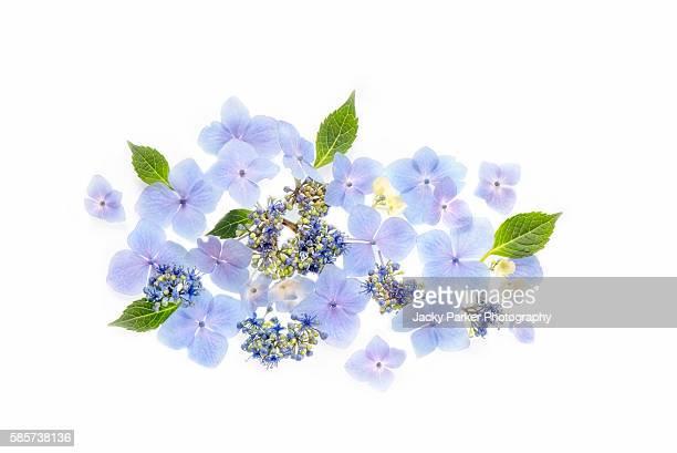blue hydrangea flower arrangement - hydrangea stock pictures, royalty-free photos & images