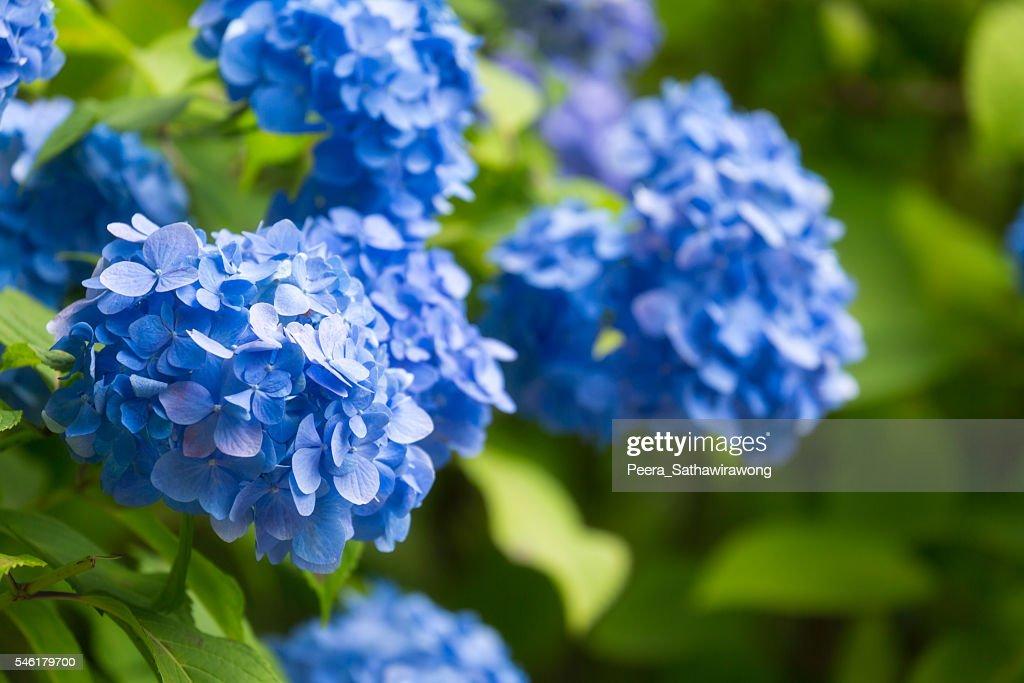 Blue Hydrangea flower in Japan : Stock Photo