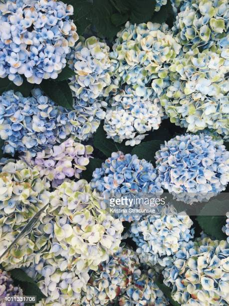 blue hydrangeas - hydrangea stock pictures, royalty-free photos & images