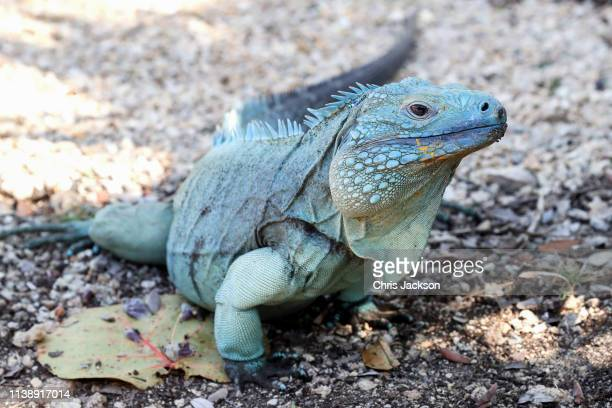 Blue iguana at the Queen Elizabeth II Royal Botanic Park on March 28, 2019 in Grand Cayman, Cayman Islands.