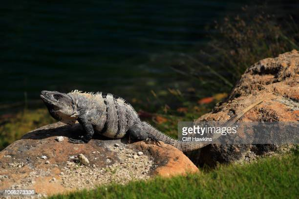 A blue iguana is seen during the final round of the Mayakoba Golf Classic at El Camaleon Mayakoba Golf Course on November 11 2018 in Playa del Carmen...