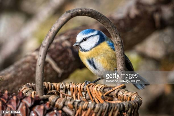 blue in basket - susanne ludwig stock pictures, royalty-free photos & images
