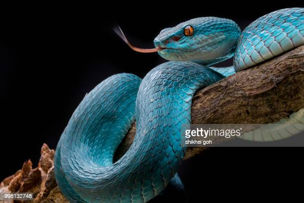blue insularis - snake stock pictures, royalty-free photos & images