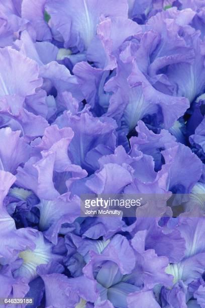 Blue Iris Petals