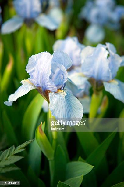 blue iris - bearded iris stock photos and pictures