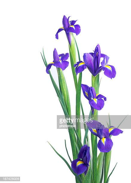 blue Irises isolated on white