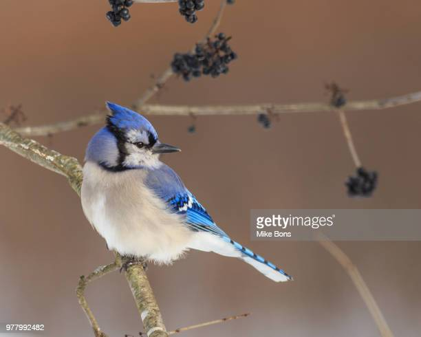 blue jack perching on branch, ontario, canada - perching stock photos and pictures